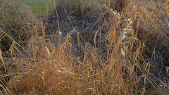 trockenes Gras (hierba seca)