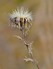 Trockenpflanze