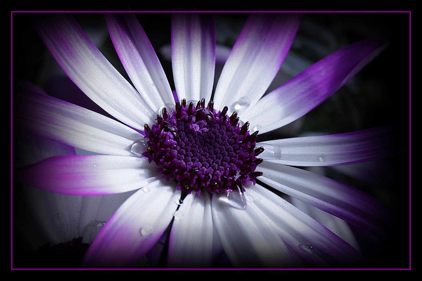 °Tröpfchen auf dem Blütenköpfchen°
