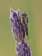 Tröpfchen-Fliege