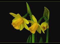 Trompeten des Frühlings