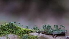 Trompeten im Walde