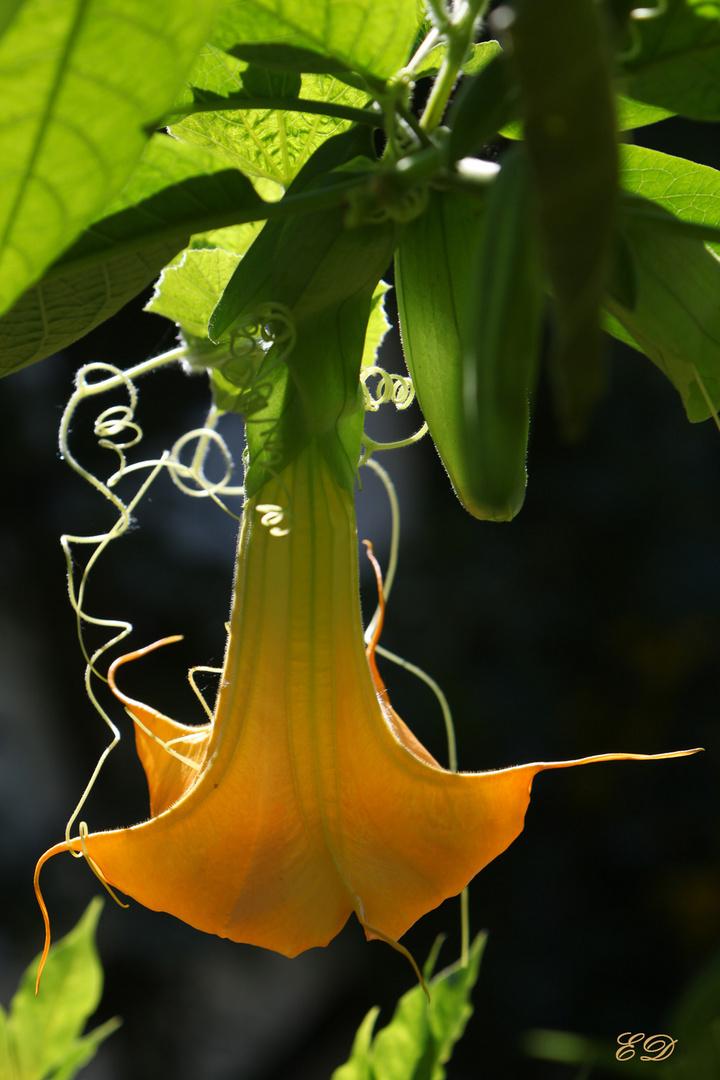 Trompetenblüte