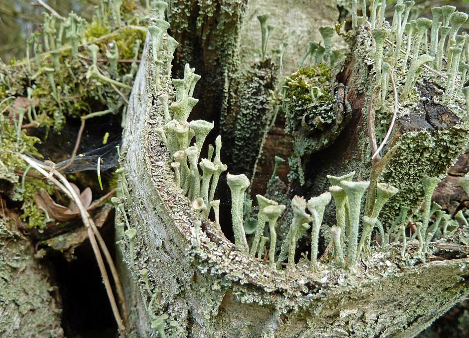 Trompetenflechte auf Birkenholz