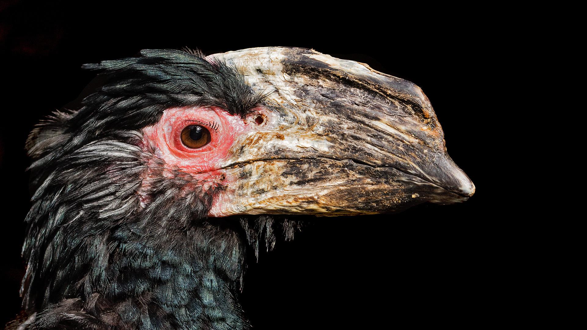 Trompetenhornvogel 001