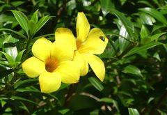 Tropenblümchen mit Gast