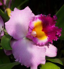 Tropenschönheit