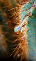 Tropfen auf Haus-Kaktus