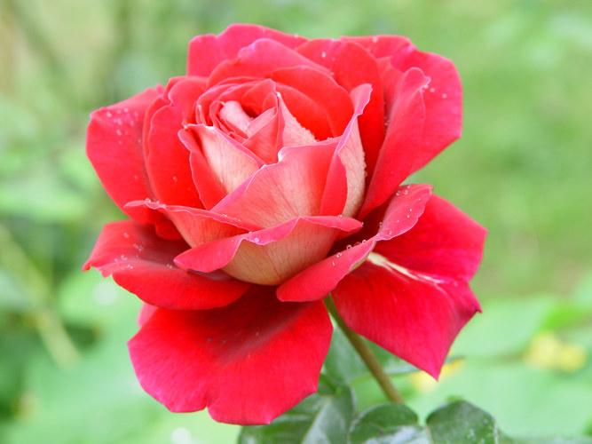 Tropfen auf Rosenblüten