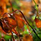 Tropfende Moos-Sporenkapseln im tiefen Wald. - Capsules de spores de mousse dans la forêt.