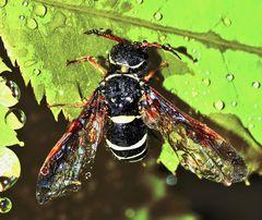 Tropfnass am Schlafen: Eine Gespinstblattwespe (Megalodontesidae). *