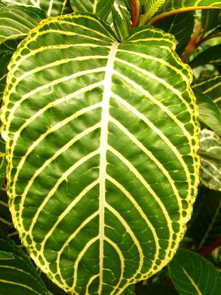 Tropic Blatt