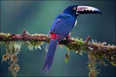 [ Tropical Aracari ]