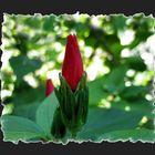 Tropical flower bud
