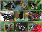 Tropische Schmetterlinge