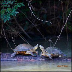 Tropische Schmuckschildkröten....