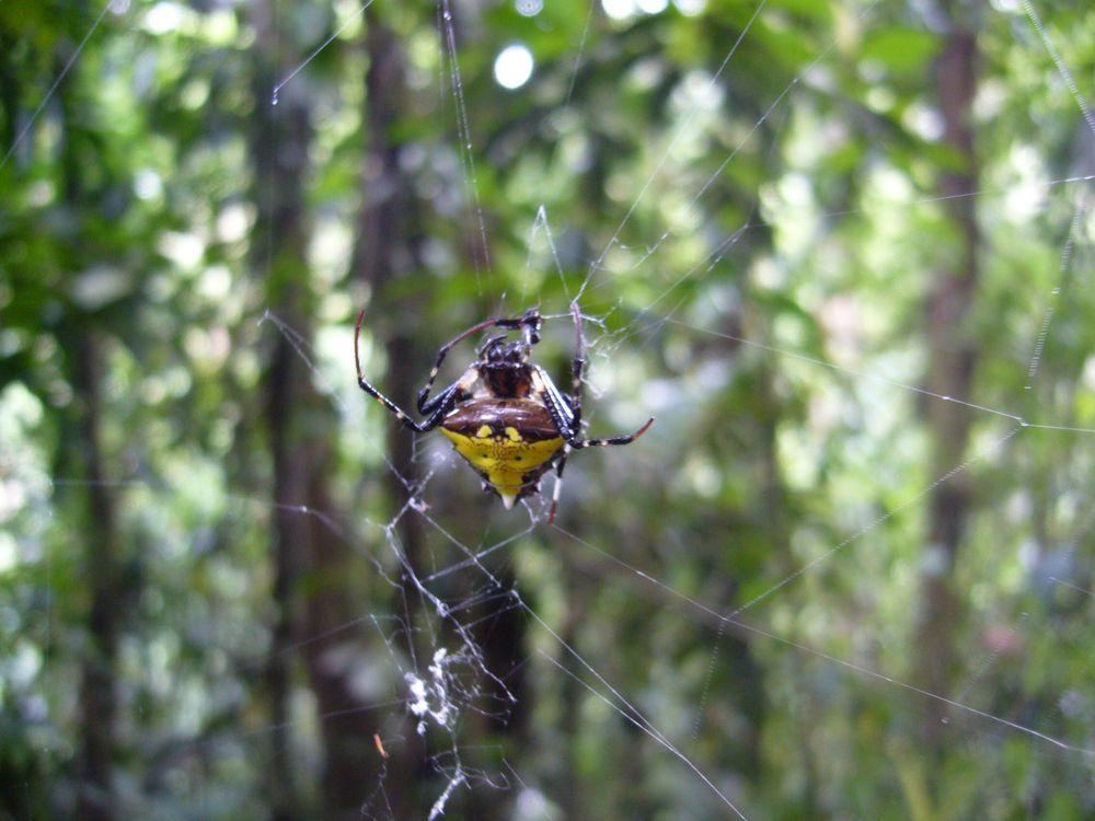 Tropische Spinne von Costa Rica