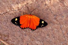 Tropischer Nachtfalter am Morgen, Stenele aletis ( Geometridae )