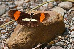 """Tropischer Schmetterling """"POSTMAN"""" - Heliconius melpomene rosina"""