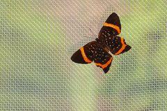 Tropischer Schmetterling, Riodina lysippus lysias Stichel.