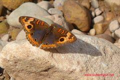Tropischer Schmetterling, Tarapoto/Rio Mayo/Peru,