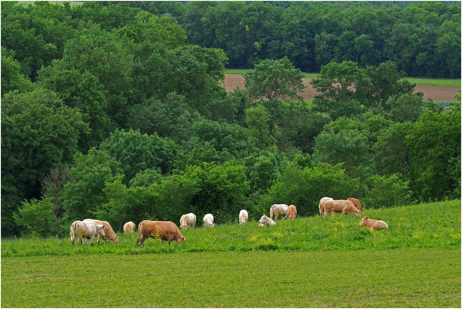 Troupeau de « Blondes d'Aquitaine » en Lomagne gersoise