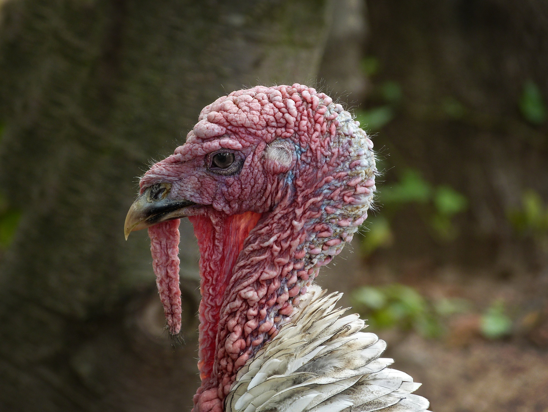 Truthahn Foto & Bild | tiere, zoo, wildpark & falknerei, vögel ...