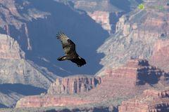 Truthahngeier über dem Grand Canyon