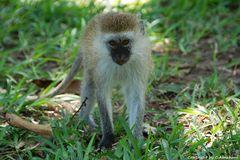 Tsavo National Park - Kenia