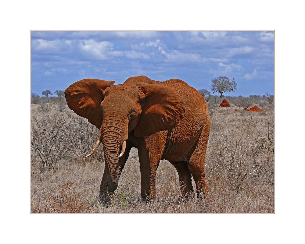 Tsavo Ost... Elefantenbulle auf Tuchfühlung...