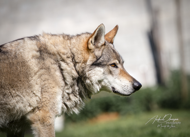 Tschechoslowakische Wolfshund