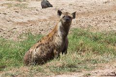 Tüpfel-Hyäne