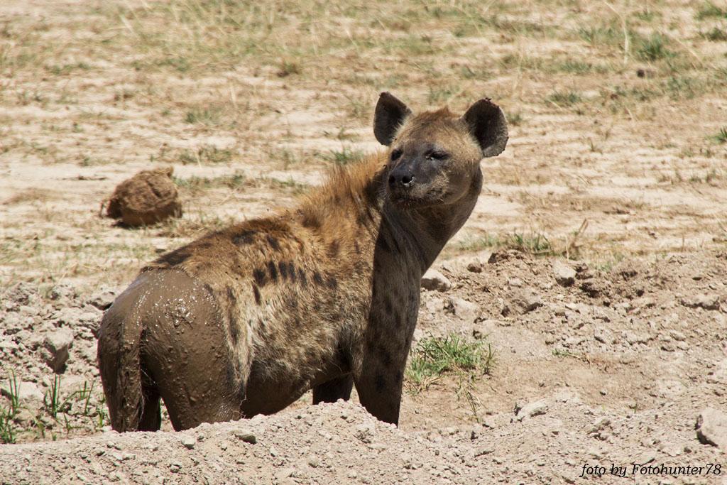 Tüpfel-Hyäne im