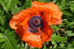 Türkischer Mohn - Eine der wenigen Blüten, die nicht vom Regen vernichtet wurden