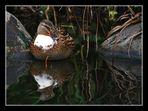 Türschwimmer-Ente