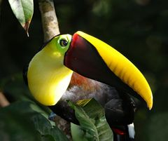 Tukane gehören zu den faszinierendsten Vögeln ....
