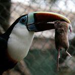 Tukane sind keine Kuscheltiere