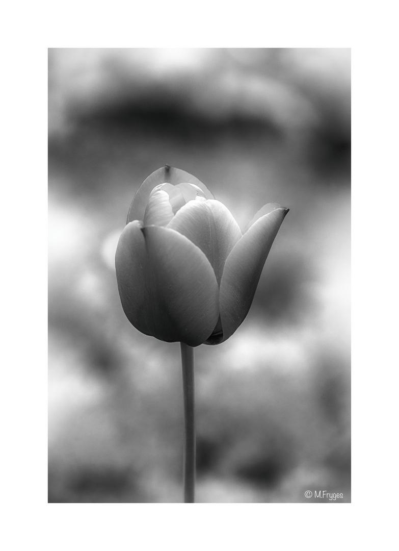 Tulip..........