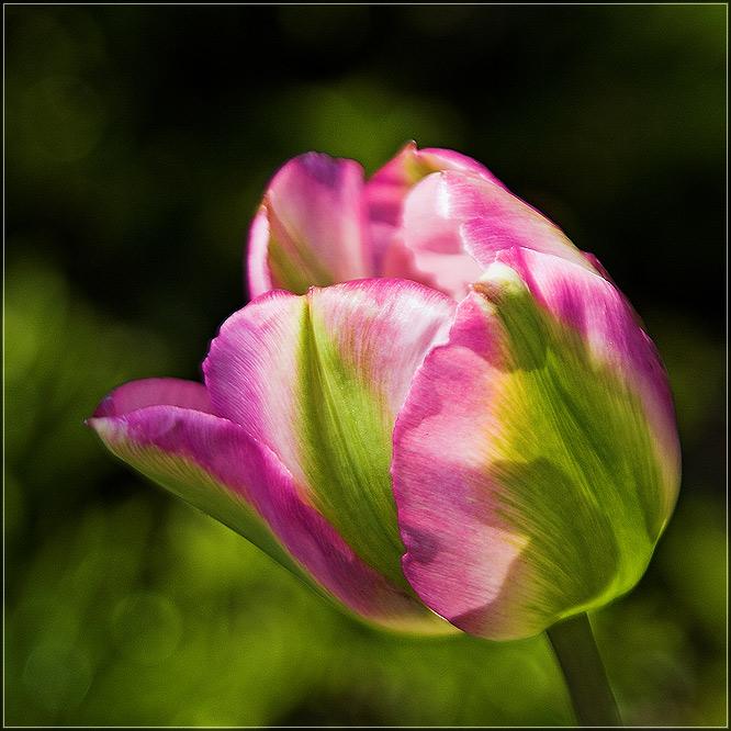 Tulip am Starnberger-See