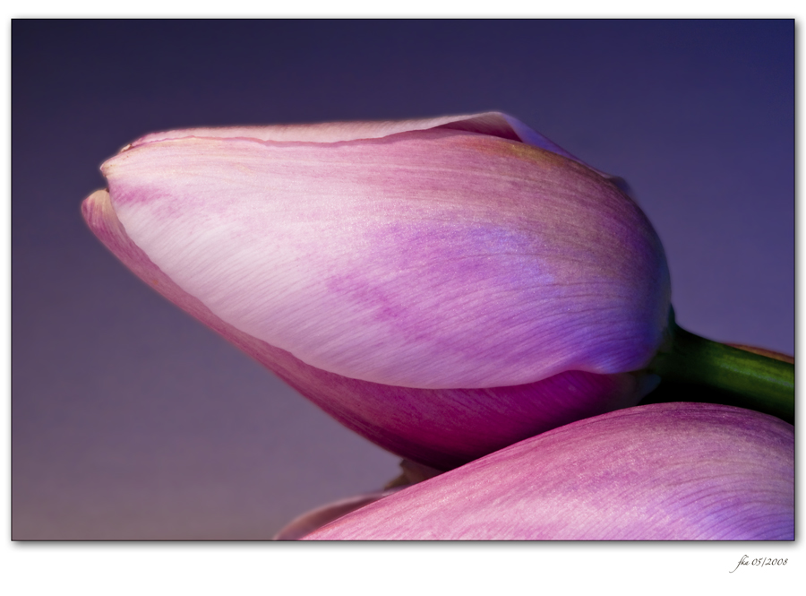 Tulip Chill