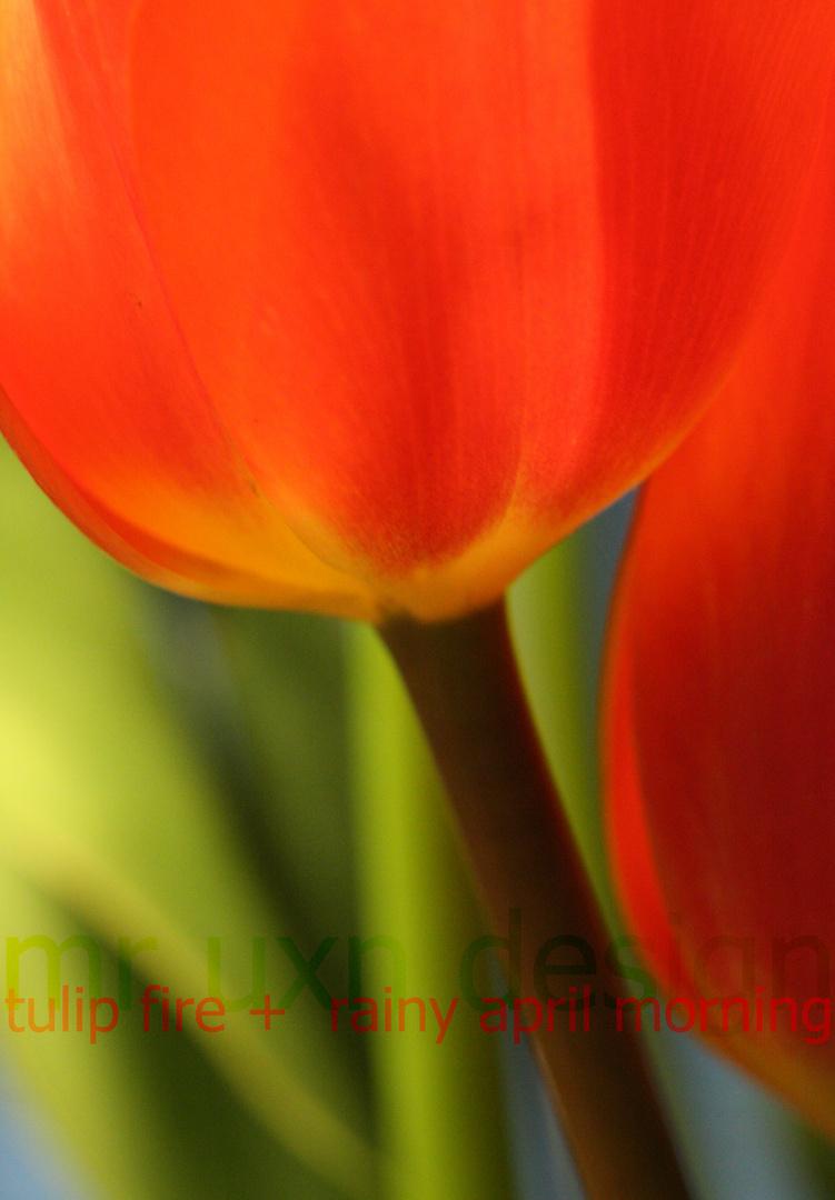 tulip fire + rainy april morning