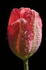 Tulip in April