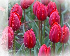 °°°||° tuliP in lovE