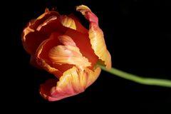 Tulip in the evening