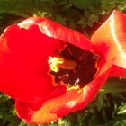 Tulip red and gold