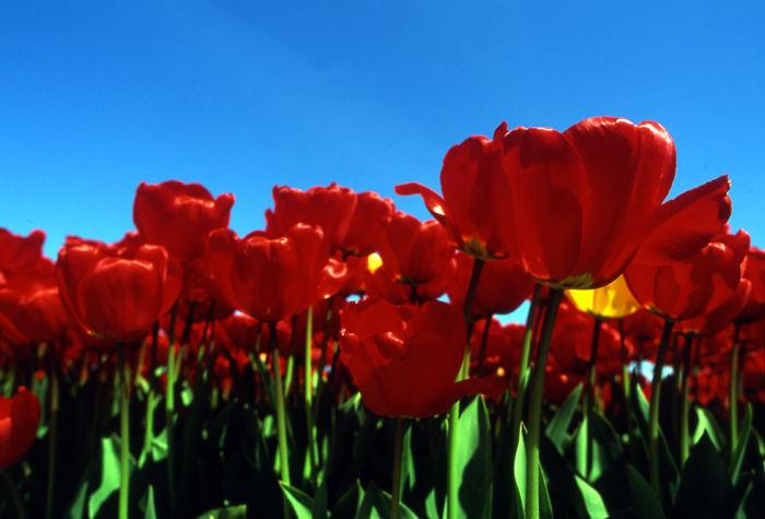 Tulip rossi.