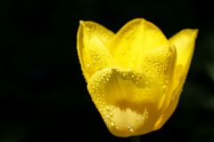 Tulip with water drops