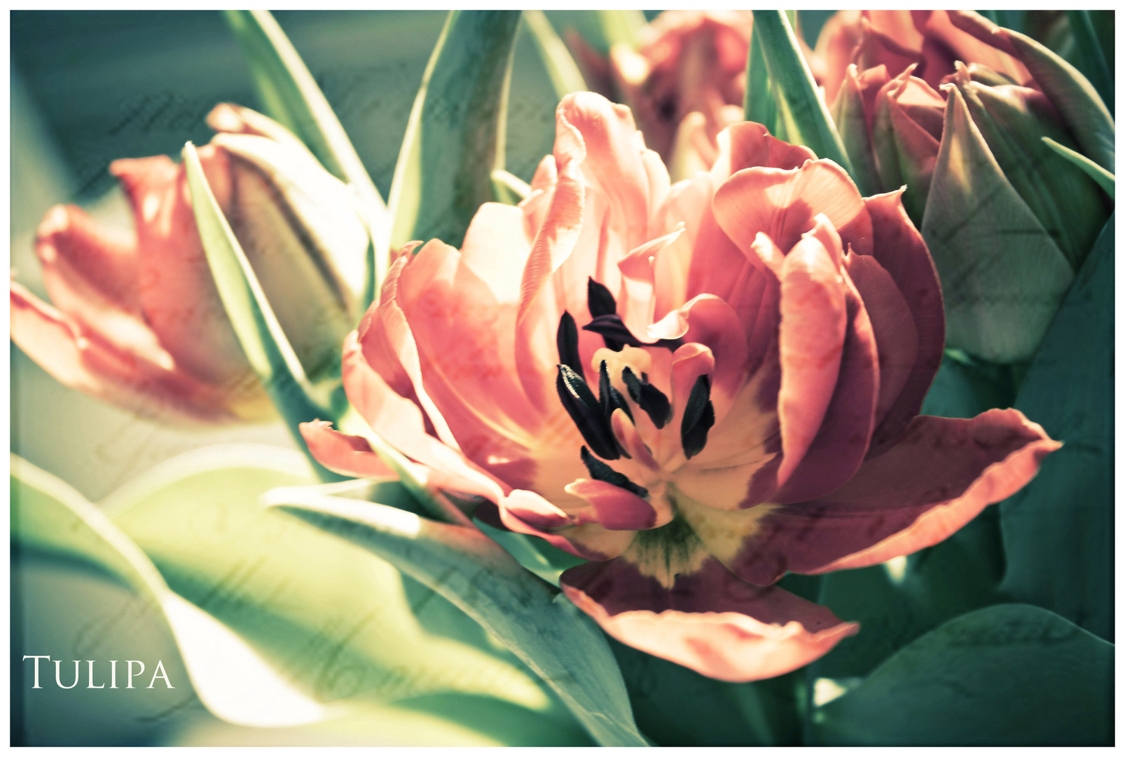 Tulipa...