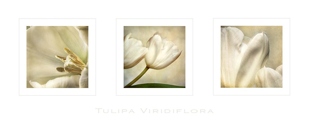 [ tulipa ]