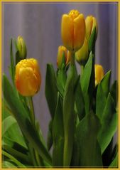 Tulipa Aldii